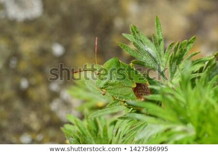 Stock fotó: Zöld · pajzs · rovar · őslakos · Nagy-Britannia · makró