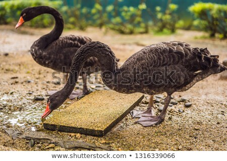 Black swans drink some water from a puddle Stock photo © galitskaya