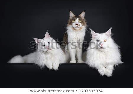 Solid white adult Maine Coon Stock photo © CatchyImages
