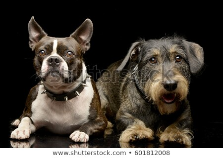 Studio shot of an adorable Boston Terrier and a Dachshund Stock photo © vauvau