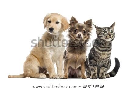 üç sevimli karışık köpek Stok fotoğraf © vauvau