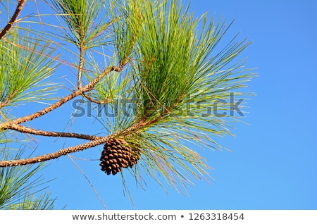 Cedar Cypress Leaves and Pine Cone Decoration Stock photo © marilyna