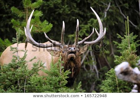 Large Bull Elk with velvet on antlers Stock photo © photoblueice