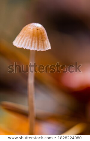 Mycena aetites. stock photo © asturianu