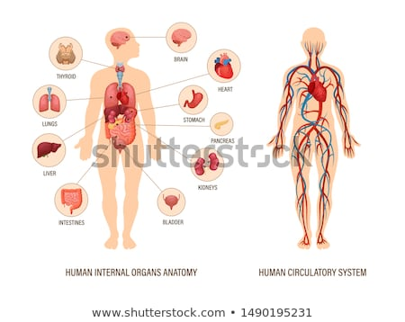 Stock photo: Human circolatory system