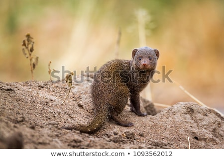 Dwarf Mongoose Stock photo © zambezi