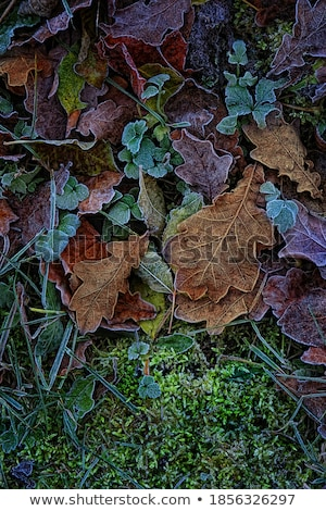moss leaves and frost stock photo © suerob