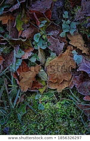 мох листьев мороз зеленый покрытый свет Сток-фото © suerob