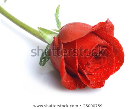 woman with wet red rose Stock photo © imarin