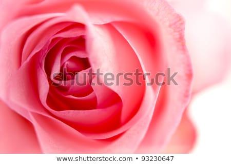 primer · plano · vista · hermosa · ramo · rosas · aislado - foto stock © inxti