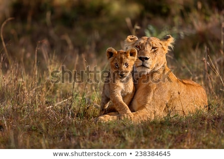 african lioness with cubs stock photo © ajlber