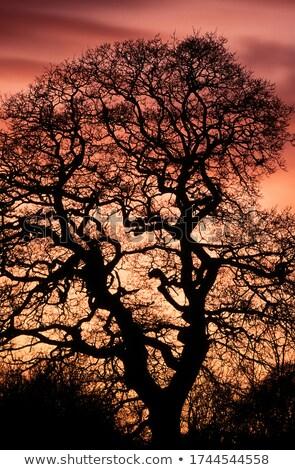 tölgy · reggel · köd · égbolt · fa · tavasz - stock fotó © rtimages