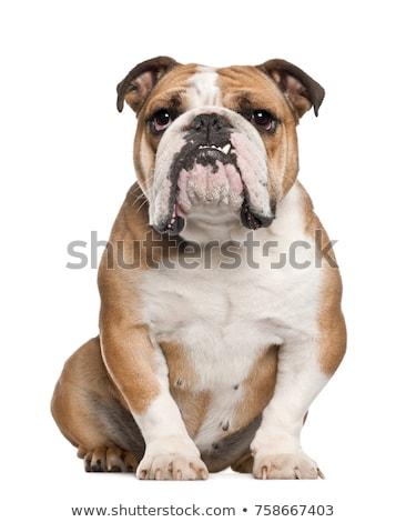 英語 ブルドッグ 犬 金 座って ストックフォト © milsiart