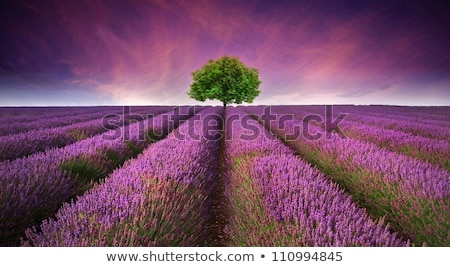 Single tree in lavender fields Stock photo © jrstock