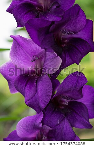 purple gladiolus Stock photo © photochecker