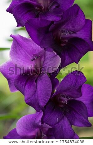 Mor güzel çiçek bahar dizayn bahçe Stok fotoğraf © photochecker