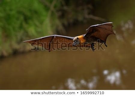 battant · Fox · bat · suspendu · arbre · forêt - photo stock © witthaya