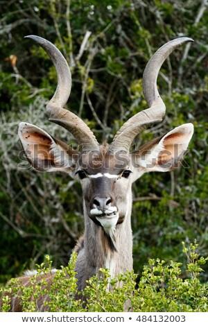 portret · woestijn · Botswana · reizen · vlees · park - stockfoto © livingwild