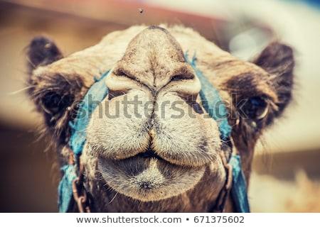 верблюда вверх мнение сидят песок Сток-фото © Hofmeester