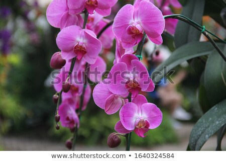 Beautiful orchid  Stock photo © dacasdo