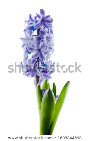 jacinto · belo · flores · da · primavera · branco · páscoa · amor - foto stock © Peredniankina