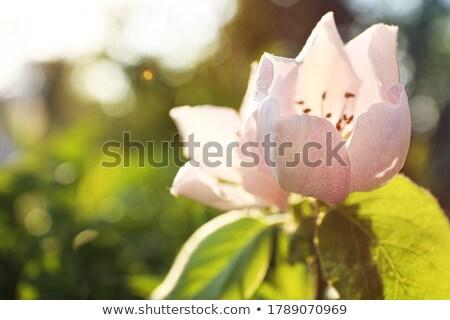 айва Blossom весны цветы сезон саду Сток-фото © stevanovicigor