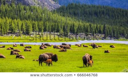bison · vue · typique · scène · parc · visiteurs - photo stock © capturelight