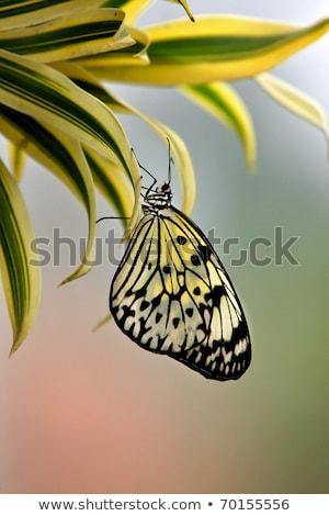 Rice Paper butterfly Idea leuconoe in green leaf Stock photo © lunamarina