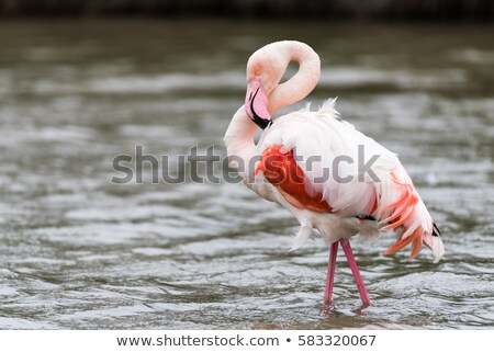 фламинго · птица · ходьбе · белый · животного · розовый - Сток-фото © elenarts