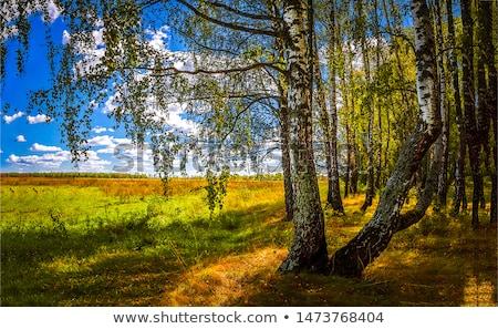 autumn birch stock photo © ondrej83