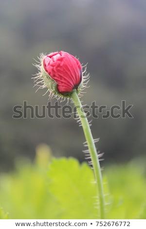 opium poppy flower stock photo © milsiart
