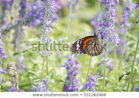 old world swallowtail butterfly on lavender stock photo © ivonnewierink