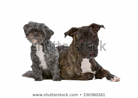 A stafford  and a Lhasa apso dog Stock photo © eriklam