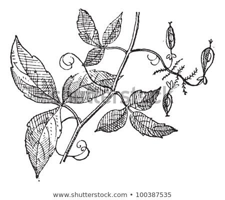 Ulmaceae, vintage engraving Stock photo © Morphart