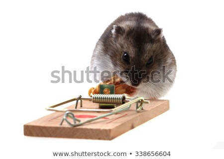 dzungarian mouse in the mousetrap Stock photo © jonnysek