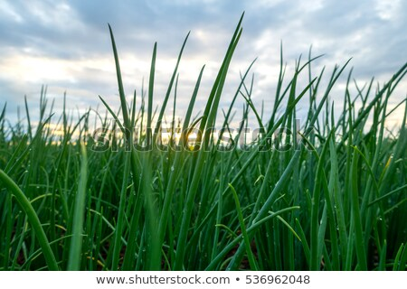 Farmer's Field Green Onions California Agriculture Food Grower Stock photo © cboswell