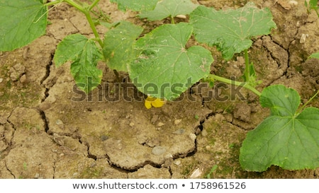 Drought, mud cracks in dry cultivated land Stock photo © stevanovicigor