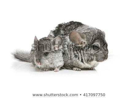 2 孤立した 白 チンチラ 母親 赤ちゃん ストックフォト © svetography