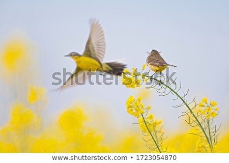 A yellow bird Stock photo © bluering