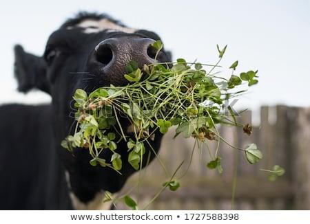 bull eating grass stock photo © avheertum