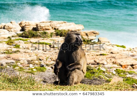 Baboon sitting on a rock Stock photo © kb-photodesign