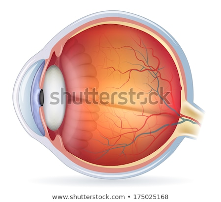Human eye cross section, normal vision Stock photo © Tefi
