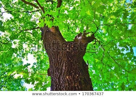 корона клен дерево зеленые листья древесины лист Сток-фото © Vertyr