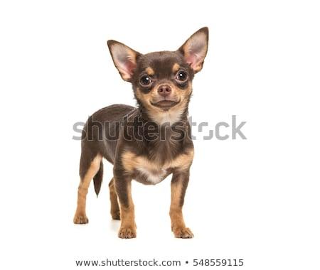 chihuahua dog standing stock photo © raywoo
