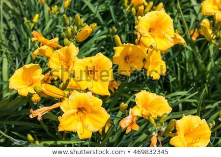 Sarı gün zambak çiçek doğa bahçe Stok fotoğraf © Virgin