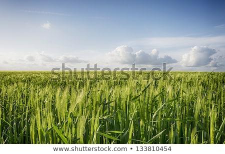 Alulról fotózva kilátás zöld árpa mező kék ég Stock fotó © stevanovicigor