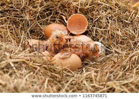 tavuk · pansuman · tatlı · gıda · sandviç · tahta - stok fotoğraf © lightkeeper