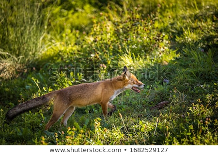Red fox in its natural habitat - wildlife shot Stock photo © lightpoet
