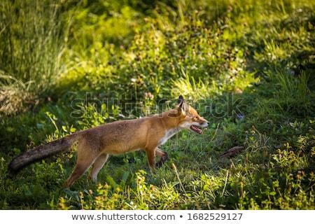 rot · Fuchs · Bild · Hund - stock foto © lightpoet