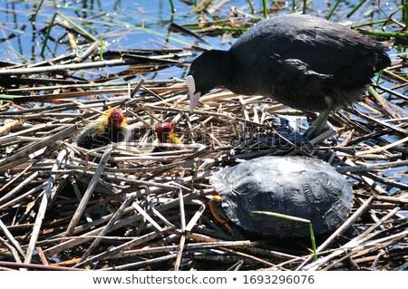 Chick nest familie natuur schoonheid Rood Stockfoto © taviphoto